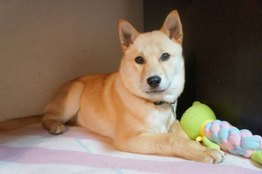 Christmas once again: a Hokkaido cross-breed named Virginia