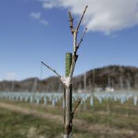 Opened in December, the winery has planted pinot gris, merlot and gewurztraminer grape varieties, which will be picked in September. | KIYOSHI OTA / BLOOMBERG