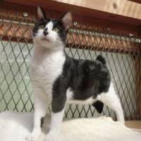 Let's play!: A black-and-white bobtail named Lemon