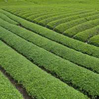On the road to Sekigahara is a landscape of cultivated tea fields. | STEPHEN MANSFIELD