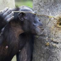 Do chimp rituals reveal roots of religion?