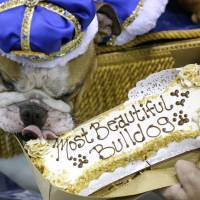Iowa's 'Beautiful Bulldog' crown goes to rescued pup Vincent