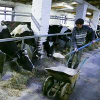In this photograph made from footage taken on April 11, a worker is seen feeding cows at a farm in the Belarusian village of Vorotets, just 45 km (25 miles) north of the Chernobyl nuclear power plant in Ukraine. | AP