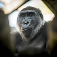 Ohio zoo's gorilla provides window into genome similarities between humans, great apes