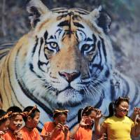 Global tiger tally up for first time in century