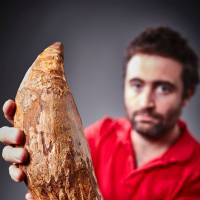 Fossil tooth of gigantic killer sperm whale found in Australia