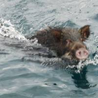 Sea-borne invasion of wild boars on Japanese island leaves residents in despair