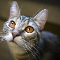 The Environment Ministry plans to permanently allow cat cafes to stay open until 10 p.m. from June. | ISTOCK