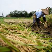 A farmer harvests rice in a paddy field in Katori, Chiba Prefecture, last September. | BLOOMBERG