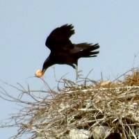 A crow snatches an egg from a stork's nest in Naruto, Tokushima Prefecture, on Tuesday. | KYODO