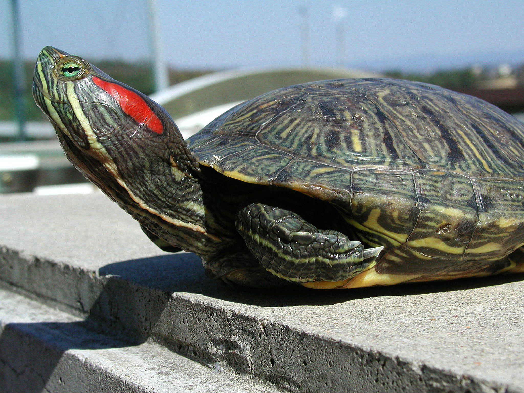 Japan has 8 million invasive red-eared sliders, seen here, and only around 1 million endemic turtles.   KYODO