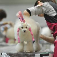 A woman grooms a poodle at the FCI Japan International Dog Show in Tokyo on April 2.   YOSHIAKI MIURA