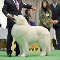 Top dog: A Great Pyrenees named Hippy Hippy Shake won the 'best in show' prize at the FCI Japan International Dog Show in Tokyo on April 2.   YOSHIAKI MIURA