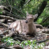 A subspecies of shika deer can be found on Yakushima, Kagoshima Prefecture. | WIKIMEDIA COMMONS, CC BY-SA 3.0