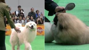 [VIDEO] Competitors in the 2016 FCI Japan International Dog Show