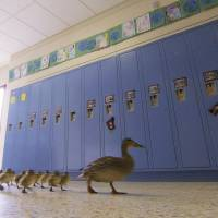 Duck upholds 13-year tradition, leads ducklings on yearly waddle through Michigan school