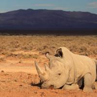 African rhinos to be flown to Australia to escape poachers