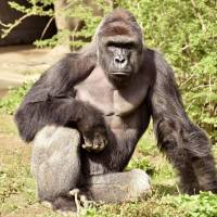Zoo kills gorilla to protect boy who fell into enclosure in Ohio