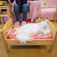 Cat cafes facing more scrutiny as owners' top priority not always felines, experts say
