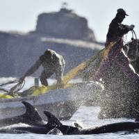 Local fishermen corner a pod of bottlenose dolphin in a cove in the town of Taiji, Wakayama Prefecture, in January 2011. | KYODO