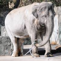 Hanako the elephant plays with a hose at Inokashira Park Zoo in Tokyo in February 2015. | SATOKO KAWASAKI
