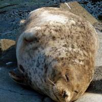 Tora, Japan's oldest harbor seal, died last week at Otaru Aquarium in Hokkaido. | OTARU AQUARIUM/KYODO