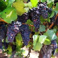 Kubota group starting production of grapes for wine