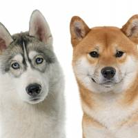 Spitz-type dogs, including the Shiba, are often better adapted to harsh northern climes than terriers and hounds. | ISTOCK
