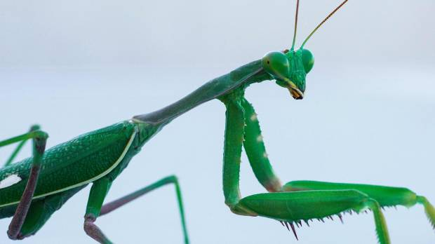 Praying mantis' cannibalism after sex increases females' fertility