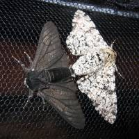 Master gene of disguise in moths and butterflies is identified