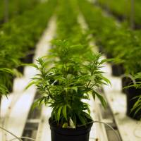 Medical marijuana plants thrive in a climate-controlled growing room at the Tweed Inc. facility in Smith Falls, Ontario, Canada, in November 2015. | BLOOMBERG