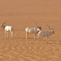 Desert antelope faces 'imminent extinction'