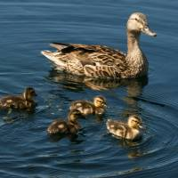 Study reveals ducklings use heretofore unresearched learning process to pinpoint mother