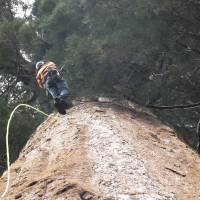 Group clones California's giant, ancient trees to fight climate change