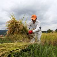 Grim prospects: A farmer collects harvested rice ready to dry in a paddy field in Fujinomiya, Shizuoka Prefecture, in September 2014. | BLOOMBERG