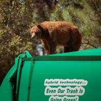 Bear rides garbage truck in New Mexico