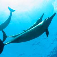 U.S. government seeks ban on swimming with Hawaii dolphins