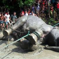 Indian elephant washed down flooded river now jumbo rescue chore for Bangladesh