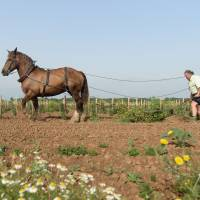 French vineyards revive horse-drawn plows