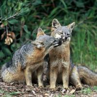 Once decimated by golden eagles, Channel Island foxes off endangered list