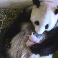 Vienna zoo's giant panda gives birth to twins, later count finds
