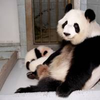 Giant Panda Lun Lun relaxes as her twin panda cubs Mei Lun and Mei Huan sleep at her feet at the Atlanta Zoo in Atlanta in 2013. Lun Lun is pregnant with twins again, according to zoo officials. | REUTERS