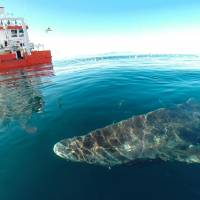Long in the tooth: Greenland shark, at 400, now oldest living vertebrate