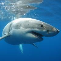Off South Africa's coast, great white sharks are threatened