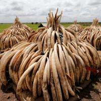 If Japan slow to ban ivory trade, online shops even slower