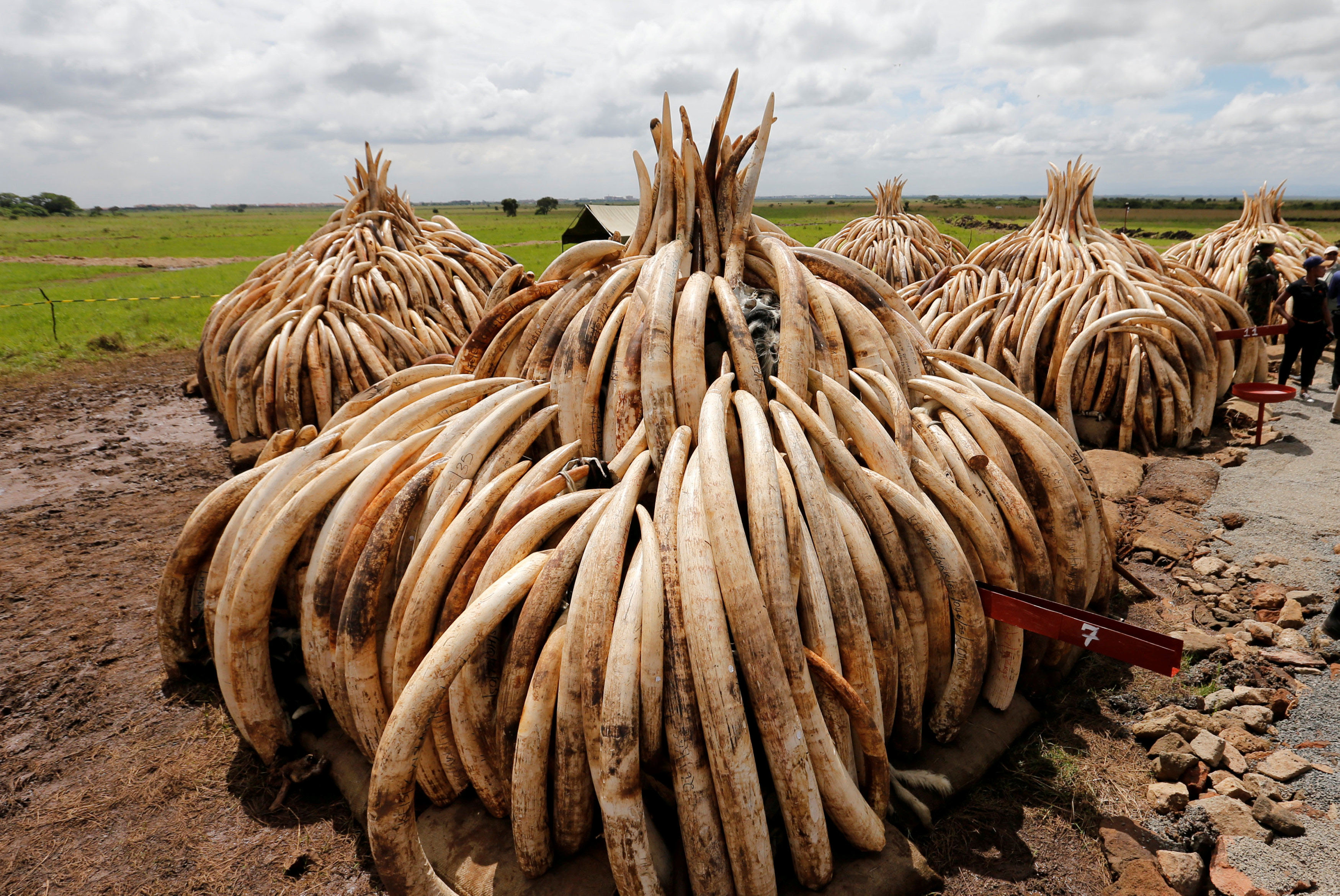 Because the United States recently shut down its domestic ivory market and China is close to doing so, many countries and animal conservationists are closely watching how Japan, one of the largest ivory markets in the world, will react. | REUTERS