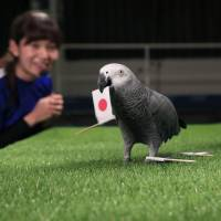 Olivia the parrot back in soccer prediction game for Rio