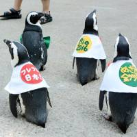 Penguins decked out in special outfits parade in Matsue Vogel Park in Shimane Prefecture to cheer on Japan's athletes at the Rio de Janeiro Olympics on Monday. | KYODO