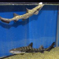 Twin banded houndsharks Mana (below) and Kana are seen at Uozu Aquarium in Toyama Prefecture on Tuesday. | KYODO