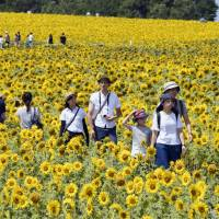 Giant sunflower field in Hokkaido reeling in tourists
